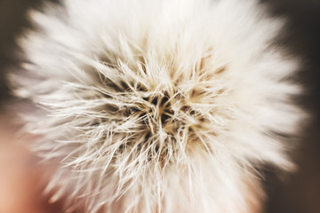 dandelion with parachutes close-up. background . dandelion in bloom