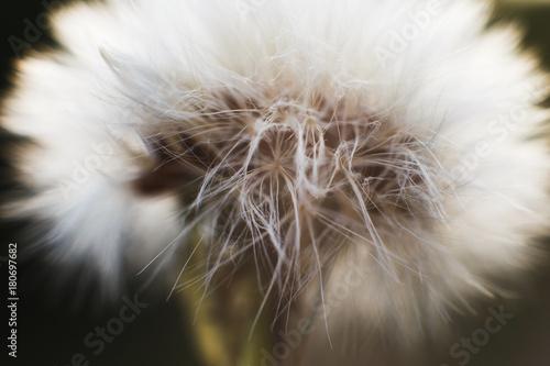 Plexiglas Paardebloemen dandelion with parachutes close-up. background . dandelion in bloom
