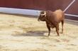 Toro bravo español en una plaza de toros
