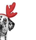 Santa claus dalmatian dog with new year horns and serious face. Isolated on white