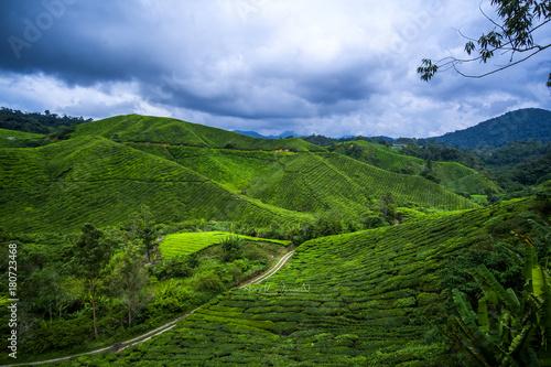 Poster scenery of Boh tea plantation,cameron highland Malaysia at noon.