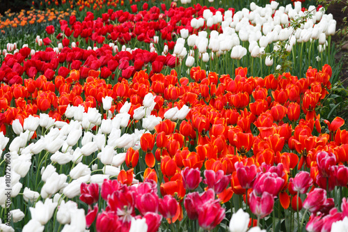 Staande foto Rood traf. Flowerbeds with red tulips