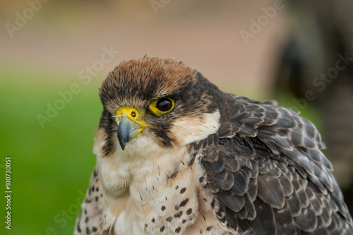 photo portrait of a Peregrine falcon Poster