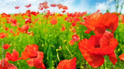 Foto op Canvas Rood Field with scarlet poppies.