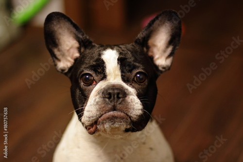Foto op Canvas Franse bulldog Animals, insects, cat, cat, dog, french bulldog, spider, nature, life, crocodile