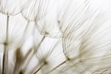 Dandelion seed closeup © Viviana