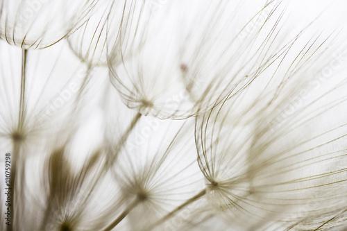 Dandelion seed closeup - 180759298