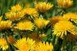 Dandelions - 180761010