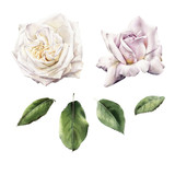 Roses and leaves, watercolor, can be used as greeting card, invitation card for wedding, birthday and other holiday and  summer background - 180765608
