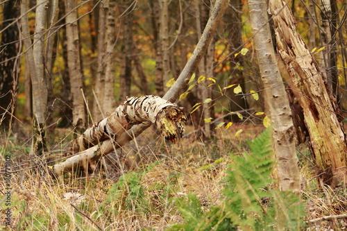 umgeknickte Birke im Wald