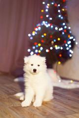 Samoyed puppy. Sitting samoyed dog with Christmas decorations on background