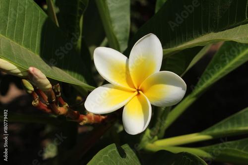 Fotobehang Plumeria Single yellow and white