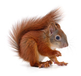 Eurasian red squirrel. - 180784896