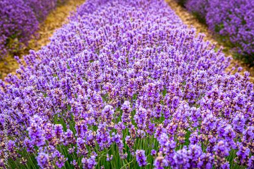 Papiers peints Lavande Detail of line of lavender flowers, near Valensole village, Provence, France
