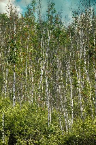 Papiers peints Bosquet de bouleaux Beautiful landscape summer birchwood