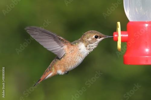 Allens Hummingbird (Selasphorus sasin)