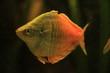 honey gourami fish