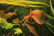 Tropical Gourami fishes