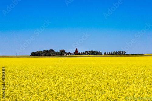 Fotobehang Meloen canola field