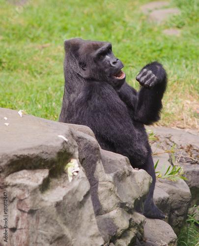 Poster Female Gorilla Yawning