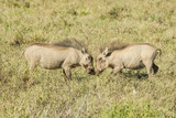 Two young warthogs playing in long grass - 180816441