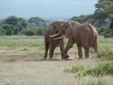rivalisierende Elefantenbullen