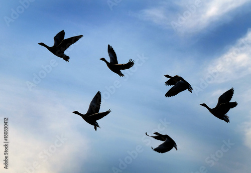 Greylag Geese flying in large group in UK. Poster