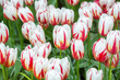 White tulip with red delicate stripes