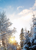Trees with snow in winter . Christmas card.