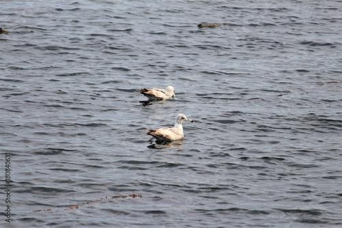 Birds swimming