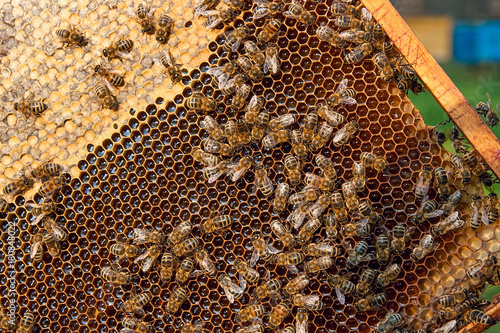 Fotobehang Bee View of the working bees on the honeycomb with sweet honey.