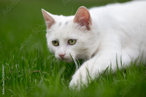 White cat sneaking on grass Poster