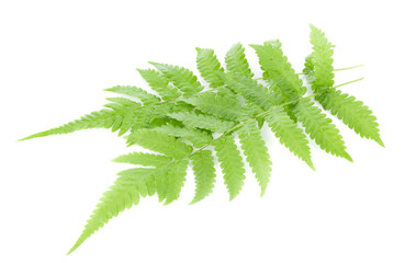 Fern leaf isolated on white background