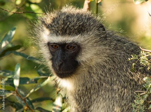 Poster Baby monkey in Kruger national park