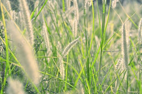 Fotobehang Lente field of spikelets