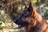 Portrait of a beautiful male german sheperd, looking friendly and attentively, at sunlight with smooth background in the garden - 180869227