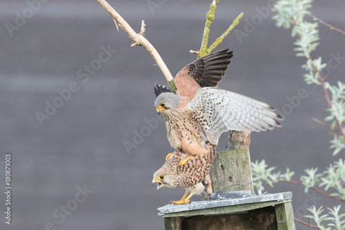 Common kestrels mating Poster