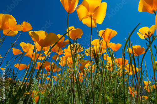 Fotobehang Arizona Mexican Poppies