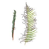 Fern, watercolor, can be used as greeting card, invitation card for wedding, birthday and other holiday and  summer background - 180874686