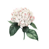 Hydrangea and leaves, watercolor, can be used as greeting card, invitation card for wedding, birthday and other holiday and  summer background. - 180877240