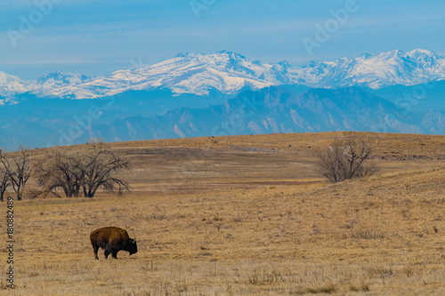 Fotobehang Blauw American Bison Grazing on the Colorado Prairie with a Mountain View
