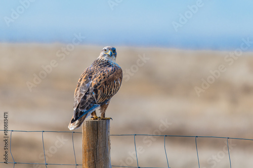 A Gorgeous Ferruginous Hawk Perched on a Fence Searching for Prey Poster