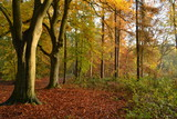 een beuk in de ochtendzon in de herfst in de Kruisbergse bossen - 180906842