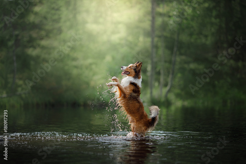 fototapeta na ścianę Dog border collie standing in the water