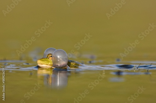 Fotobehang Kikker Green frog croaking on a beautiful background