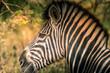 Zebra closeup - Safari in Senegal