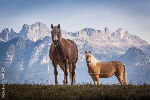 Grazing horses with dolomite mountains in the background, Renon/Ritten plateau, Alto Adige/South Tirol, Italy