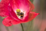 pink red blooming poppy with bees