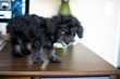 A puppy standing on a desk with toy