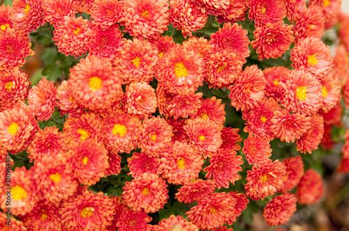 Fotobehang Hydrangea Beautiful red hydrangea flower head